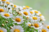 stock photo of chamomile  - Green grass and chamomiles in the nature - JPG