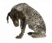 bad dog - guilty looking german short haired pointer sitting with reflection on white background