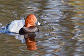 Common Pochard ( Aythya Ferina ) Swimming