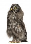 Great Grey Owl or Lapland Owl, Strix nebulosa, 3 months old against white background