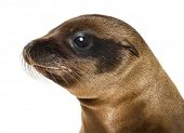 Young Close-up of a California Sea Lion, Zalophus californianus, 3 months old against white backgrou