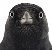 Close-up of a Western Jackdaw, Corvus monedula, (or Eurasian Jackdaw, or European Jackdaw or simply