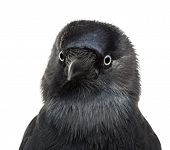 Close-up Western Jackdaw, Corvus monedula, (or Eurasian Jackdaw, or European Jackdaw or simply Jackd