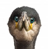 Great Cormorant, Phalacrocorax carbo, also known as the Great Black Cormorant against white backgrou