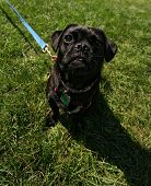 a black pug in green grass