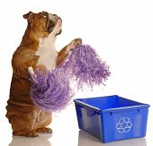 Bulldog With Pompoms Encouraging Recycling