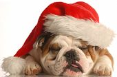 stock photo of puppy christmas  - english bulldog wearing santa hat with tongue sticking out - JPG