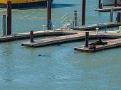 The Sea Lions Of Pier 39 In San Francisco California Usa
