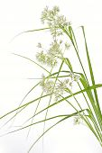 Luzula Nivea grass on white background, closeup
