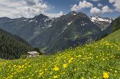 Yellow wild flowers in the Italian alps