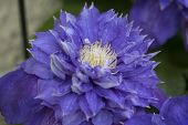 Blue Clematis Flower closeup in the garden
