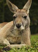 Chillin'Kangaroo