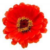 Orange Zinnia Violacea Flower Isolated White