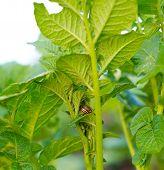 Colorado Potato Beetle On The Leaves Of Potatoes