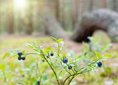 Ripe Berries Of A Bilberry On The Background Of Wood From The Freakish View