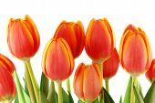 Bunch Of Beautiful Spring Tulips