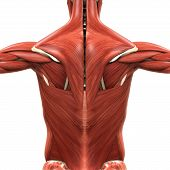 stock photo of oblique  - Illustration of Muscular Anatomy of the Back - JPG