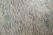 Bull weißes Haar Closeup Makro Detail Texture background