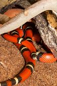 Sinaloan Milk Snake In Captivity