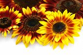 lovely sunflowers on white background - flowers and plants