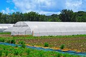 some high tunnels with different cultivars in a farm
