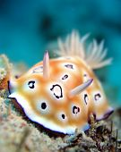 picture of flatworm  - Brightly coloured Nudi Branch in tropical waters, Tyron