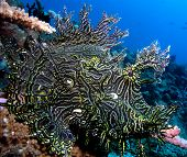 Lacy Scorpion Fish