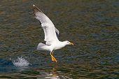 Yellow-legged Gull Feeding