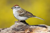 Sparrow  On A Stump In Spring