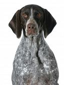 german shorthaired pointer portrait isolated on white background