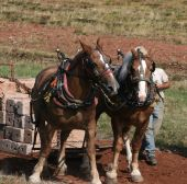 stock photo of workhorses  - Team of horses with their harness on at a horse pull - JPG