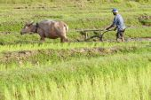Plough With Water Buffalo, Rice Field Asia