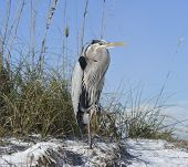 A Great Blue Heron On A Sandy Beach