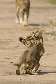 Two African Lion Cubs (panthera Leo) In South Africa