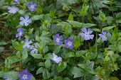 Spring - Periwinkle In Bloom