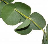 pic of eucalyptus leaves  - Branch of aromatic eucalyptus leaves - JPG