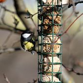 stock photo of great tit  - hungry great tit  - JPG