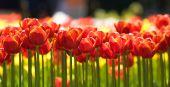 Tulips of Keukenhof