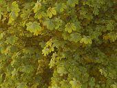 Aesculus Hippocastanum Spring