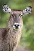 Waterbuck Female
