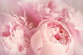 image of fragile  - Closeup of peony flowers - JPG