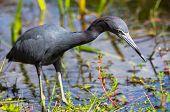 Blue Heron,  Florida, USA
