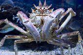 Crab in the aquarium in Piran