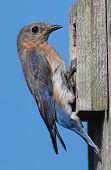 Eastern Bluebirdon A Nestbox