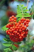 Rowan berries, Mountain ash (Sorbus)