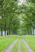 Oak Allee