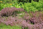 Breckland thyme,