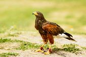 pic of hawk  - Harris hawk Parabuteo unicinctus on the ground - JPG