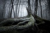 Tree with big twisted roots in a mysterious forest on Halloween