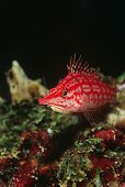stock photo of hawkfish  - Longnose hawkfish - JPG